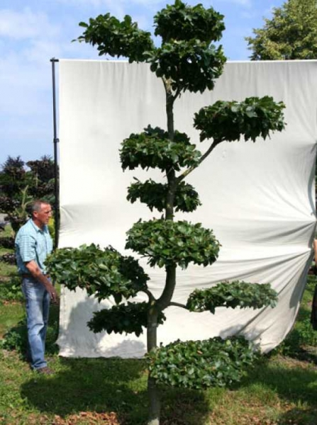 Fagus sylvatica H: 300 cm B: 160 cm / Garten-Bonsai (702104)