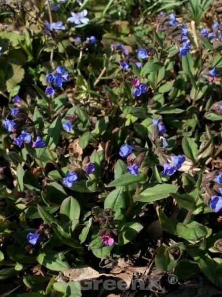 Pulmonaria angustifolia / Schmalblättriges Garten-Lungenkraut
