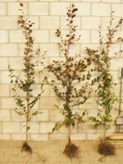 Fagus sylvatica 'Purpurea' / Blutbuche 175-200 cm wurzelnackt