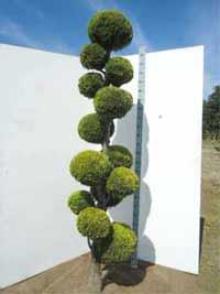 chamaecyparis zypressen bonsai g nstig in top baumschulqualit t kaufen baumschule new garden. Black Bedroom Furniture Sets. Home Design Ideas