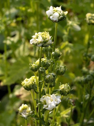 Campanula persicifolia 'Powder Puff' / Pfirsichblättrige Glockenblume