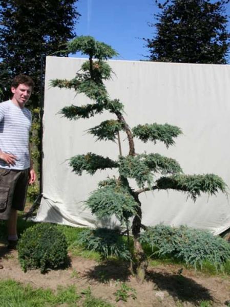 Juniperus squamata 'Blue Carpet' H: 200 cm B: 160 cm / Garten-Bonsai (306137)