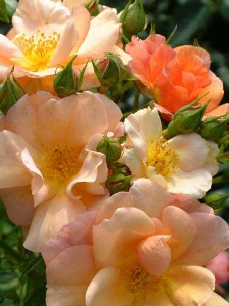 Rosa 'Aprikola ®' / Beetrose 'Aprikola'