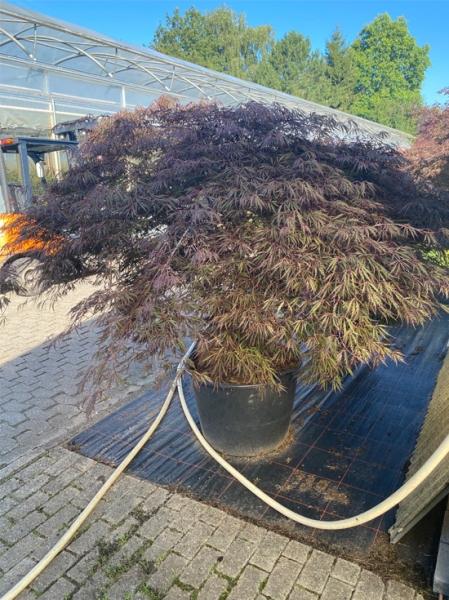 Acer palmatum 'Inaba shidare' / Fächerahorn 'Inaba shidare' / Japanischer Ahorn Kronenbreite 200-225 cm