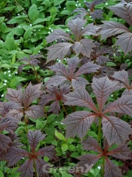 Rodgersia podophylla 'Rotlaub' / Gestieltblättriges Schaublatt