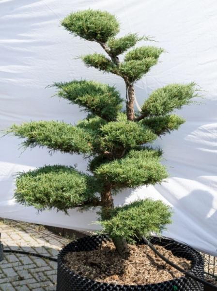 Juniperus media 'Hetzii' H: 150 cm B: 130 cm / Garten-Bonsai (629)