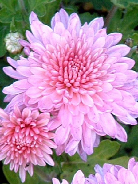 Chrysanthemum hortorum 'Nebelrose' / Herbst-Chrysantheme 'Nebelrose' / Winteraster 'Nebelrose'