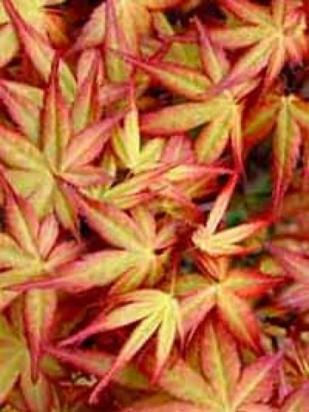 Acer palmatum 'Beni-tsukasa' / Japanischer Ahorn 'Beni-tsukasa' / Fächerahorn 'Beni-tsukasa'