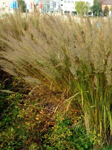 Calamagrostis arundinacea / Wald-Reitgras