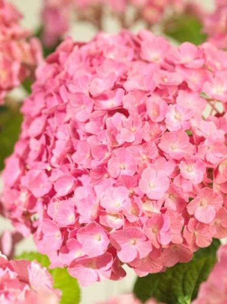 Hydrangea macrophylla 'Superbowl' (rosa) / Bauern-Hortensie 'Superbowl' (rosa)