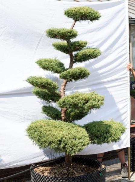 Juniperus media 'Hetzii' H: 200 cm B: 120 cm / Garten-Bonsai (625)