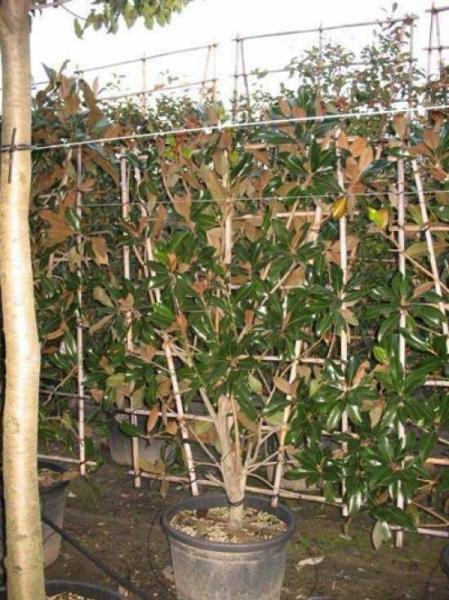 Magnolia grandiflora 'Galissonière' / Großblütige Magnolie 'Galissonière'