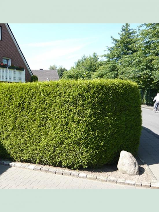 thuja occidentalis 39 brabant 39 lebensbaum 39 brabant 39 225 250 cm solit r mit ballierung g nstig kaufen. Black Bedroom Furniture Sets. Home Design Ideas
