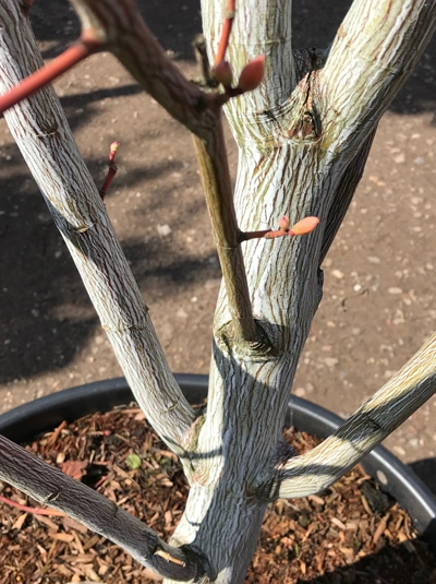 Acer davidii 'Viper' ® / Streifen-Ahorn 'Viper' ®