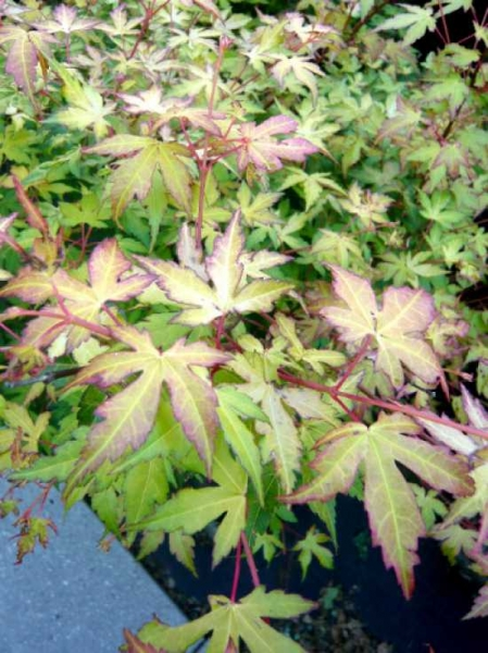 Acer palmatum 'Katsura' / Fächer-Ahorn 'Katsura' / Japanischer Ahorn