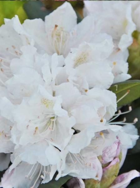 Rhododendron Hybride 'INKARHO Boule de Neige' / Rhododendron 'INKARHO Boule de Neige'