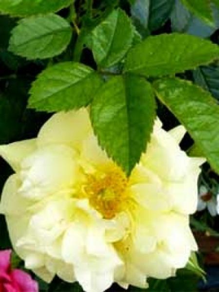 Rosa 'Loredo ®' / Stammrose 'Loredo'