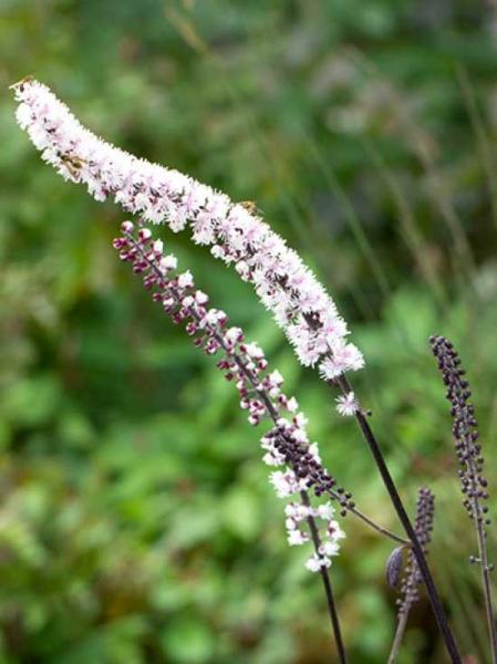 Actaea racemosa 'Chocoholic' / Cimicifuga racemosa 'Chocoholic' / Garten-Oktober-Silberkerze 'Chocoholic'