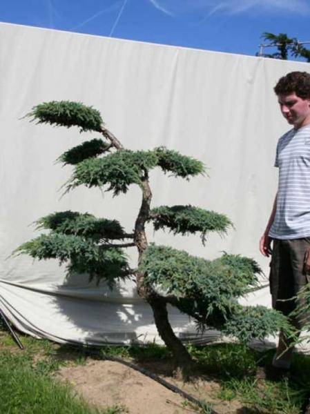 Juniperus squamata 'Blue Carpet' H: 180 cm B: 180 cm / Garten-Bonsai (306119)