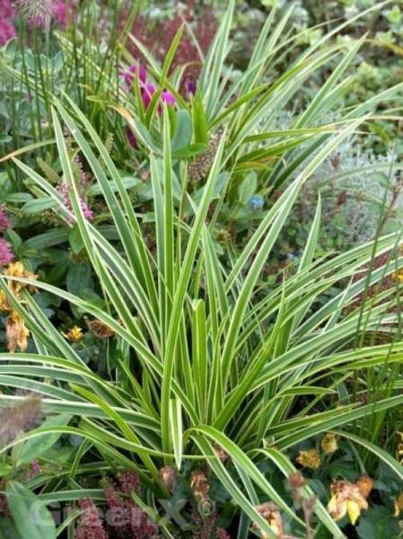 Carex morrowii 'Variegata' / Weißbunte Japan-Segge
