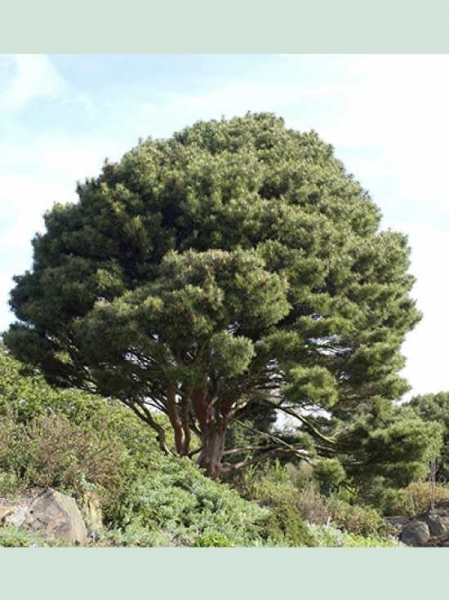 Pinus Densiflora U0027Umbraculiferau0027 / Japanische Schirm Rotkiefer