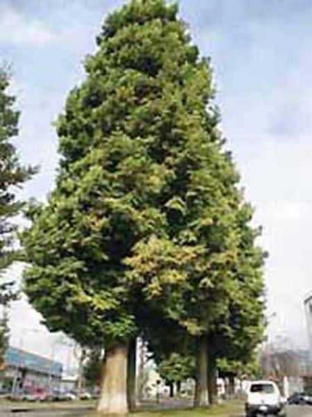 Sequoia sempervirens / Küstensequoie