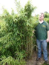 Bambus Fargesia Simba