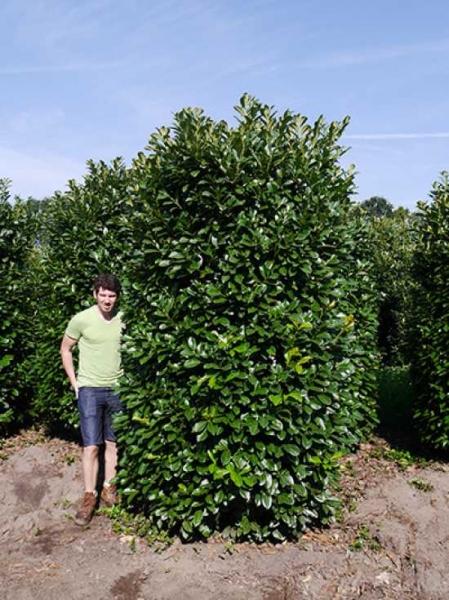 Prunus laurocerasus 'Etna' / Kirschlorbeer 'Etna' 250-300 cm Solitär mit Drahtballierung