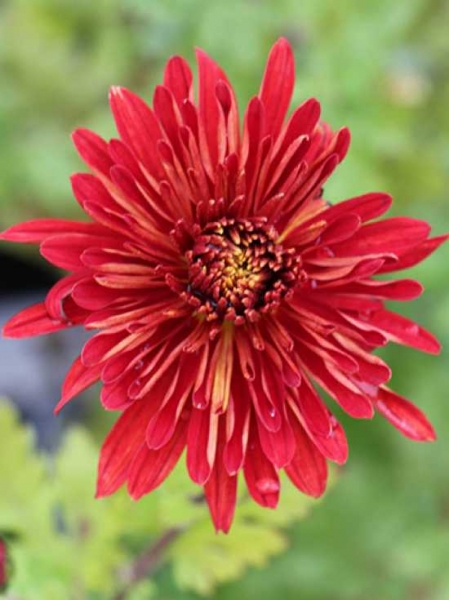 Chrysanthemum hortorum 'Brennpunkt' / Winteraster 'Brennpunkt'