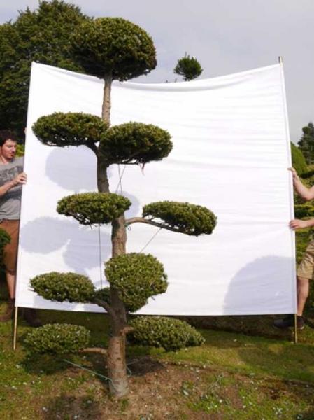Abies koreana H: 260 B: 110 cm / Garten-Bonsai (0091)