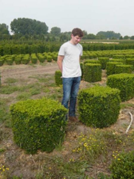Buxus sempervirens 'Quader' / Buchsbaum 'Quader' 50-55 cm mit Ballierung