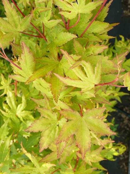 Acer palmatum 'Japanese Sunrise' / Fächerahorn / Japanischer Ahorn