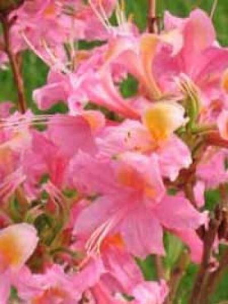 Azalea luteum 'Fanny' (Genter-Hybrid) / Laubabwerfende Azalee 'Fanny'