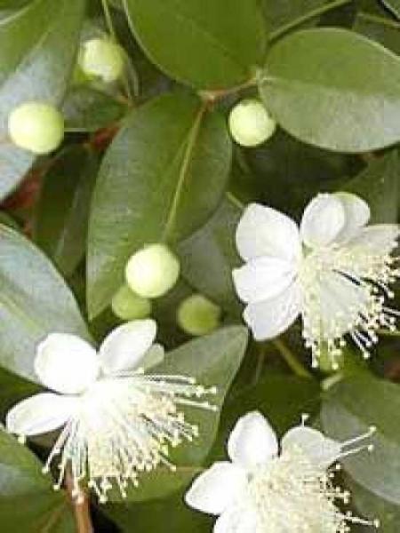 Myrtus communis / Myrte / Brautmyrte / Gemeine Myrte