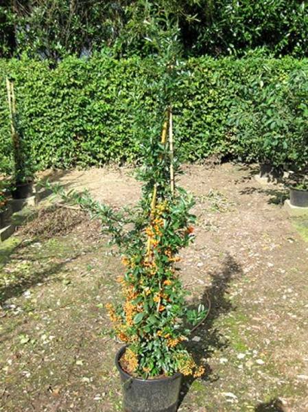 Pyracantha 'Orange Glow' / Feuerdorn 'Orange Glow' 150-175 cm im 12-Liter Container