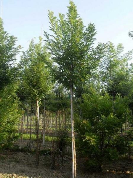 Sophora japonica 'Fastigiata' / Japanischer Schnurbaum 'Fastigiata' / Säulen-Schnurbaum