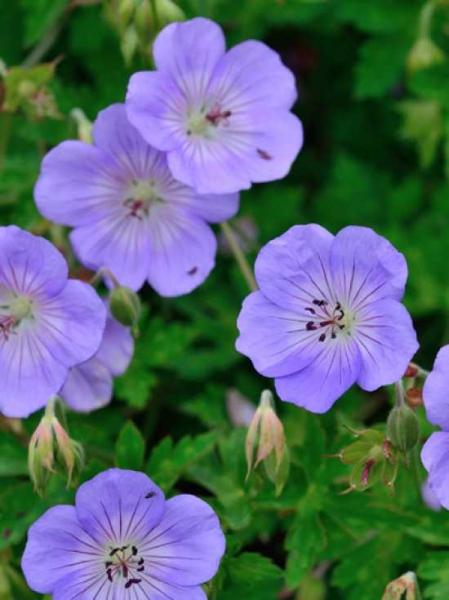 Geranium wallichianum 'Azure Rush ®' / Garten-Storchschnabel