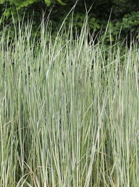 Calamagrostis x acutiflora 'Avalanche' / Gestreiftblättriges Reitgras 'Avalanche'