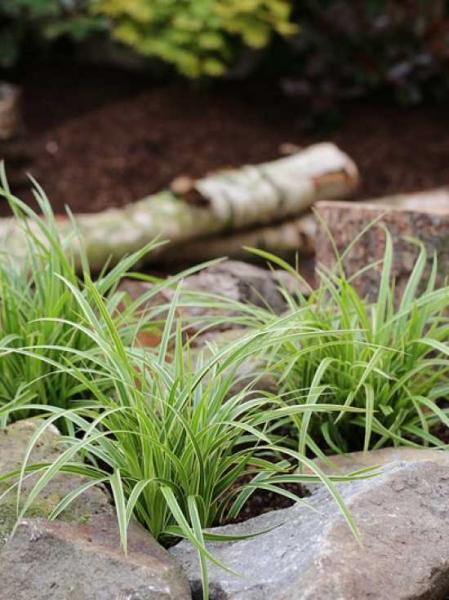 Carex morrowii 'Ice Dance' / Immergrüne Japansegge 'Ice Dance'
