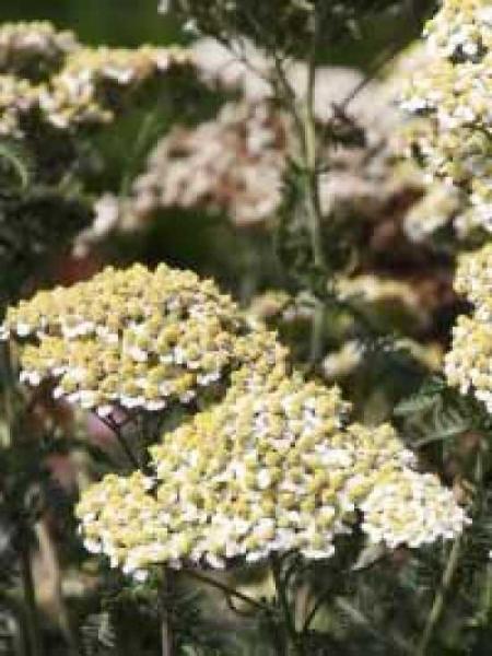 Achillea millefolium 'Hoffnung' / Schafgarbe 'Hoffnung'