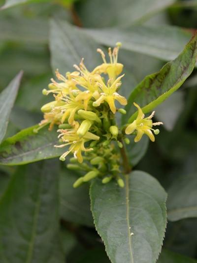 Diervilla sessilifolia 'Butterfly' / Amerikanische Weigelie 'Butterfly'