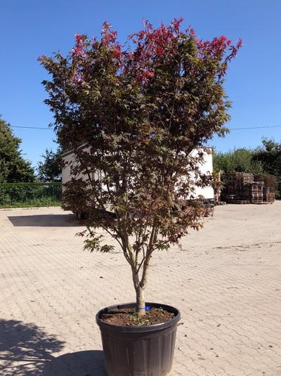 Acer palmatum 'Atropurpureum' / Roter Fächerahorn 300-350 cm (546806)