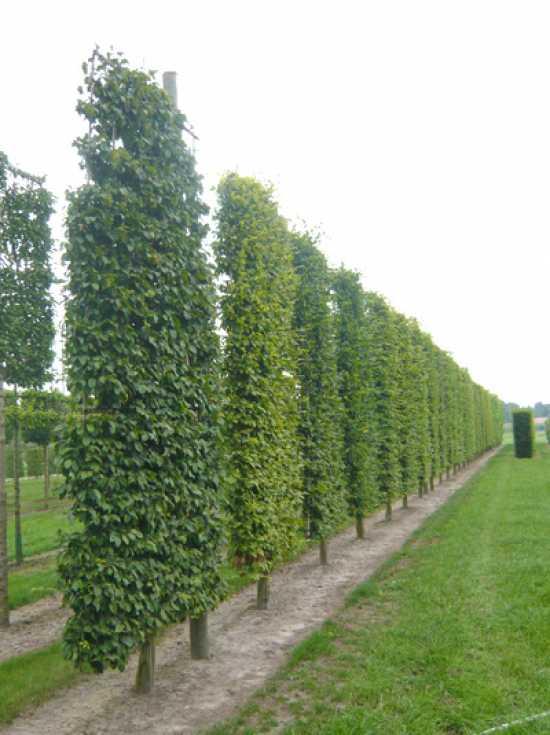 Carpinus Betulus Hainbuche Weissbuche Boden Spalier H 400 B 200