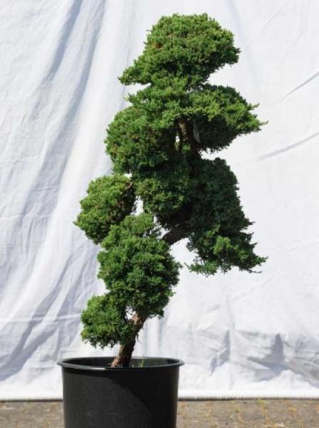 Juniperus procumbens 'Nana' H: 120 cm B: 60 cm / Garten-Bonsai (537)
