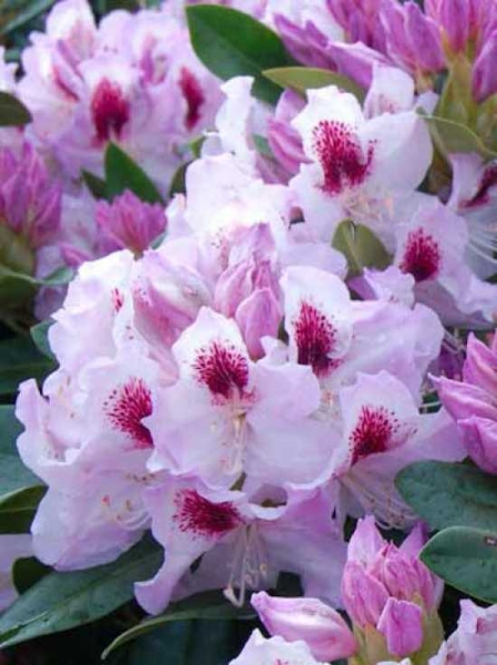 Rhododendron Hybride 'Gundula' / Rhododendron 'Gundula'
