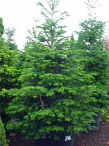 Abies delavayi 'Green Giant' / Delavays Tanne 'Green Giant'