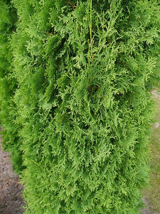 thuja occidentalis 39 columna 39 s ulen lebensbaum 39 columna 39 g nstig kaufen. Black Bedroom Furniture Sets. Home Design Ideas