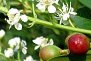 Rotundifolia-Blute-und-Frucht