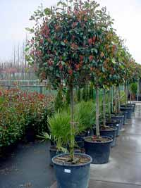 Immergrüne Hochstämme Günstig In Top Baumschulqualität Kaufen