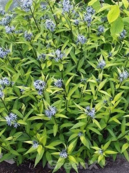 Amsonia tabernaemontana 'salicifolia' / Röhrenstern